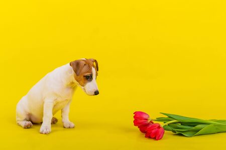 An obedient dog sits next to a bunch of red tulips in the studio on a yellow background. Romantic puppy Jack Russell Terrier congratulates lovers on Valentines Day and gives a bouquet of flowers.