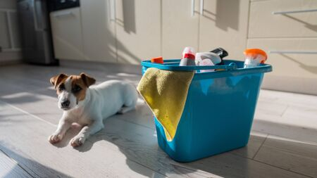 A smart, calm puppy lies next to a blue bucket of cleaning products in the kitchen. A set of detergents and a rag for home cleaning and a small dog on a wooden floor in the apartment. No people.