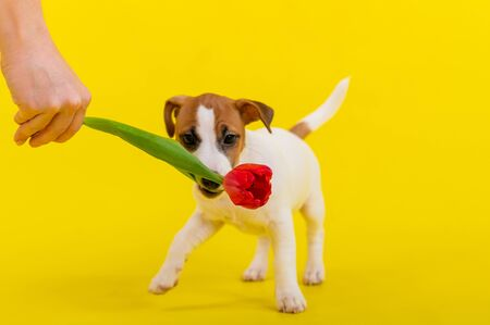 A naughty dog is jumping for a tulip in the studio on a yellow background. Funny puppy Jack Russell Terrier plays with his master and hunts for a Dutch flower.