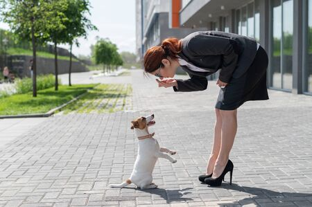 Business woman in a suit and high heels is training a puppy of Jack Russell Terrier on the street. A small dog fulfills a command to serve outdoors. Eye contact of the pet with the dog handler.