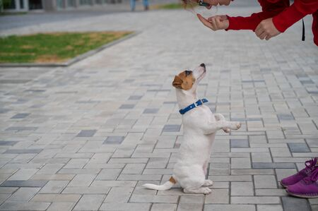 Puppy Jack Russell Terrier performs the command. A small funny dog in a blue collar plays with the owner while walking. The perfect companion. A female dog handler is training a smart pet.