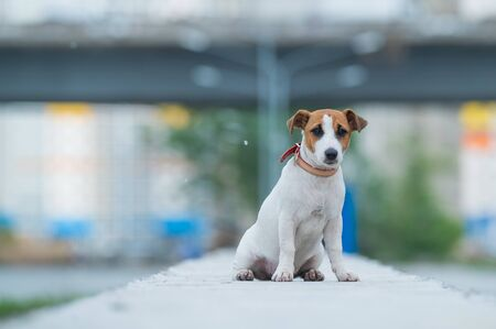 A frightened frightened puppy sits alone on a parapet. A sad little dog got lost on a street in the city. Funny Jack Russell Terrier lonely outdoors.