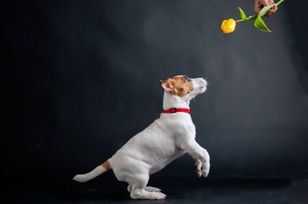 Woman teases funny puppy with flower in studio. Little mischievous dog hunts for a tulip on a black background. Female hand plays with jack russell terrier. Stok Fotoğraf