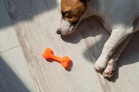 Portrait of a cute little dog sleeping next to a toy rubber bone. Puppy dozes on the floor in the sun. Jack Russell Terrier while resting. Reklamní fotografie