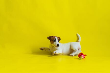 Puppy Jack Russell Terrier plays with a red tulip bud. Shorthair thoroughbred little dog cheerfully eats a spring flower on a yellow background