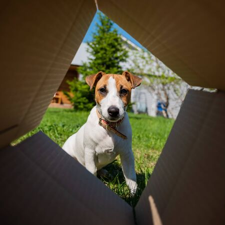 A curious dog is looking at something inside a cardboard box in a park. Puppy Jack Russell Terrier peeks into a box outdoors. View from the bottom 版權商用圖片 - 150198765