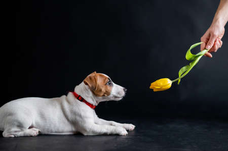 Woman teases funny puppy with flower in studio. Little mischievous dog hunts for a tulip on a black background. Female hand plays with jack russell terrier. Banque d'images