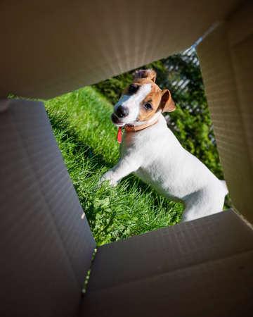 A curious dog is looking at something inside a cardboard box in a park. Puppy Jack Russell Terrier peeks into a box outdoors. View from the bottom.