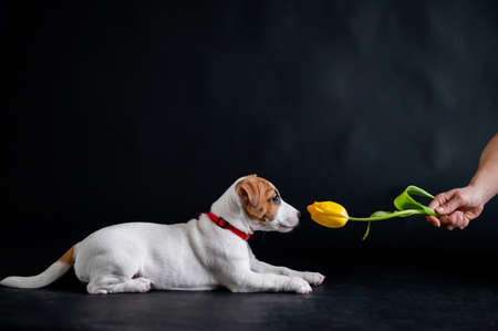 Woman teases funny puppy with flower in studio. Little mischievous dog hunts for a tulip on a black background. Female hand plays with jack russell terrier.