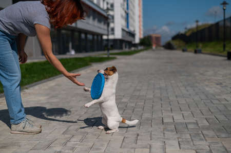 Woman walks with Jack Russell Terrier outdoors. Funny playful little dog catches and brings  to the owner.