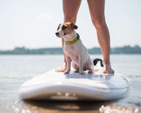 A small brave dog is surfing on a SUP board with the owner on the lake. Close-up of a jack russell terrier sitting on a surfboard next to female legs. Water sports. Stock Photo