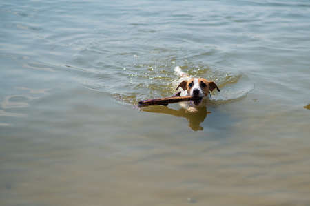 The dog swims with a stick in its mouth. Jack Russell Terrer executes the apport command.