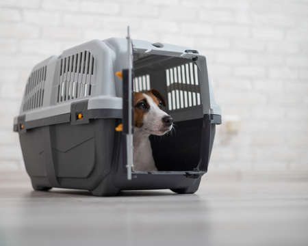 Obedient Jack Russell Terrier inside the box for safe transport