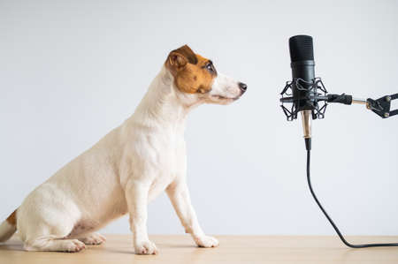 Jack russell terrier dog and professional microphone on a white background Фото со стока