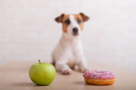 Dog before choosing food. Jack Russell Terrier looks at a donut and an apple