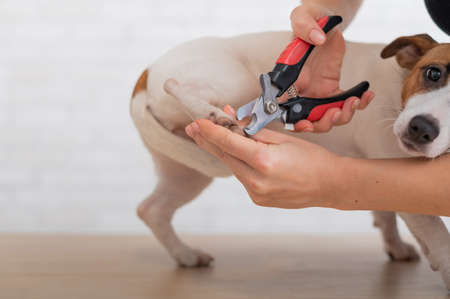 A woman cuts her claws on a Jack Russell Terrier. Frightened dog in grooming procedure 版權商用圖片