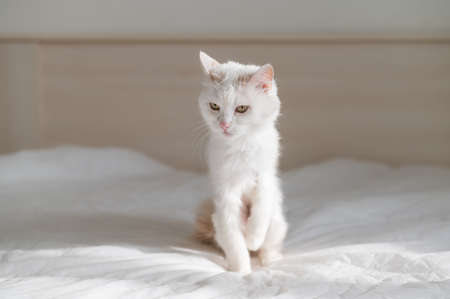 White fluffy cat sits on the bed