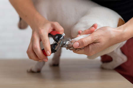 A woman cuts her claws on a Jack Russell Terrier. Frightened dog in grooming procedure 免版税图像