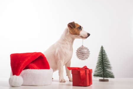 Smart dog jack russell terrier holds a christmas decoration in its mouth on a white background