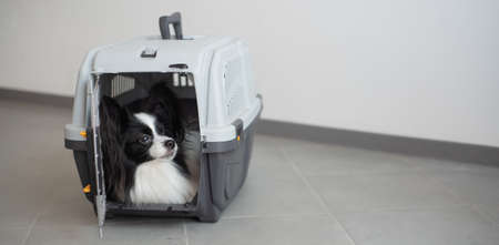 A dog in a box for safe travel. Papillon in a pet transport cage