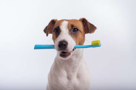 Smart dog jack russell terrier holds a blue toothbrush in his mouth on a white background. Oral hygiene of pets