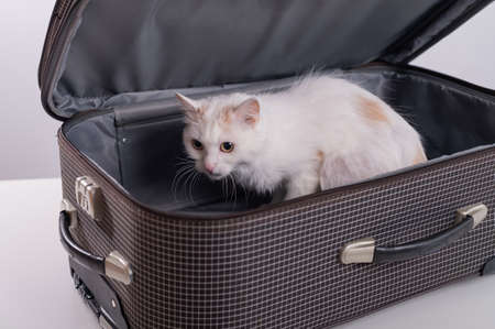 A white cat looks out of a checkered suitcase