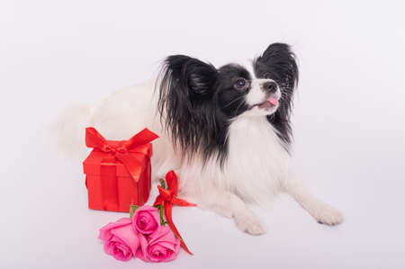 Cute papillon dog lies near a bouquet with pink roses and a red gift box on a white background. Greeting card