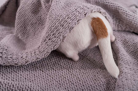 A cute little dog lies covered with a gray plaid. The hind legs and tail of a small dog stick out from under the blanket