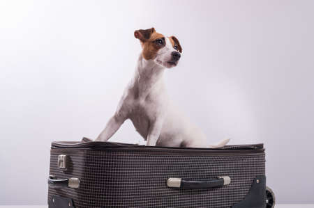 Jack Russell Terrier sits on a suitcase on a white background. The dog is going on a journey with the owners.
