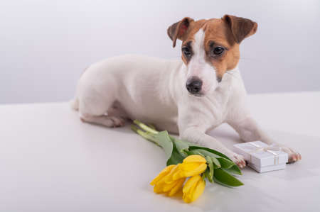 Portrait of a jack russell terrier in a bouquet of yellow tulips in his mouth on a white background. Dog congratulates on International Womens Day Banque d'images