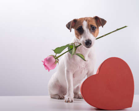 A cute little dog sits next to a heart-shaped box and holds a pink rose in his mouth on a white background. Valentines day gift