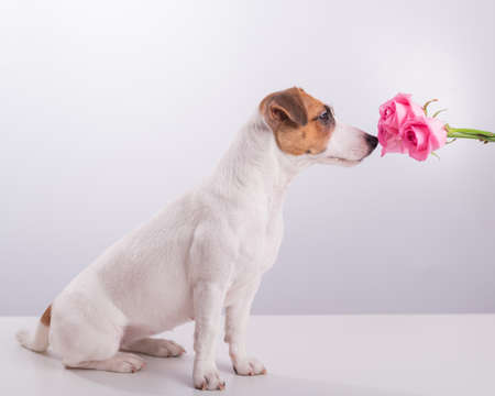 Portrait of funny dog Jack Russell Terrier sniffing a bouquet of roses on a white background