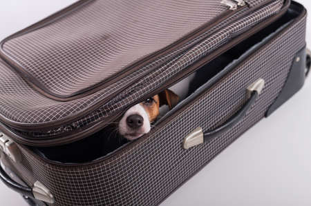 The dog is hiding in a suitcase on a white background. Jack Russell Terrier peeks out of his luggage bag