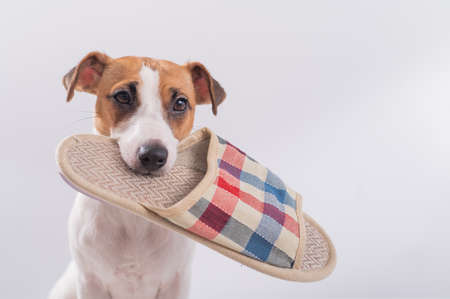The dog holds in his mouth a slipper on a white background. Obedient Jack Russell Terrier gives the owner home shoes Banque d'images