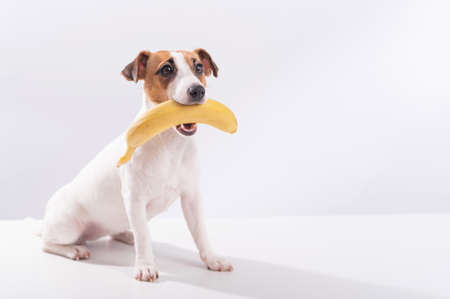 Jack russell terrier dog holds a banana in his mouth on a white background. Copyspace 写真素材