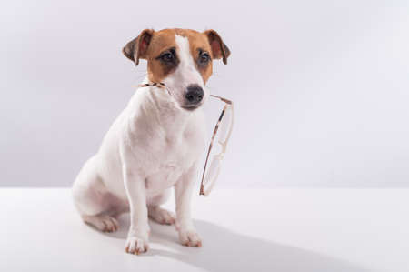 Dog jack russell terrier holds glasses in his mouth on a white background 写真素材