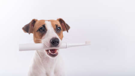Jack russell terrier dog holds an electric toothbrush in his mouth on a white background. Oral hygiene concept in animals. Copy space 写真素材