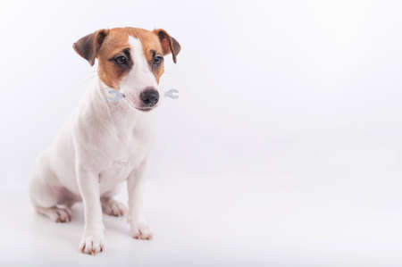 Jack russell terrier dog holds a wrench in his mouth on a white background. Copy space