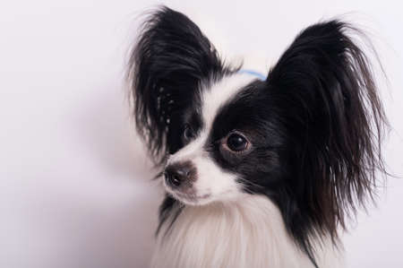 Portrait of cute eared dog Spaniel Continental Papillon on a white background