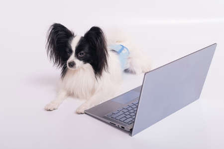 Smart dog papillon breed works at a laptop on a white background. Continental Spaniel uses a wireless computer. 写真素材