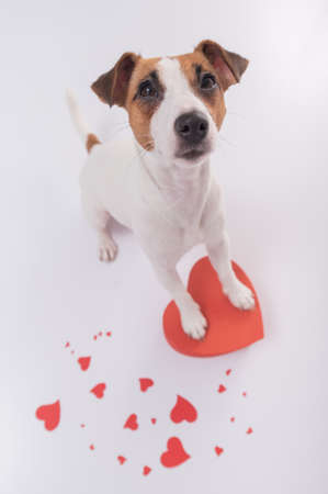 Portrait of funny dog Jack Russell Terrier with hearts. Valentines day greeting card