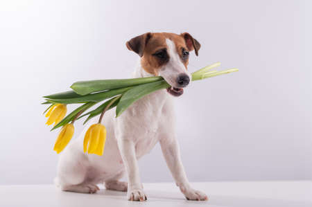 Portrait of a jack russell terrier in a bouquet of yellow tulips in his mouth on a white background. Dog congratulates on International Womens Day 写真素材 - 163587216