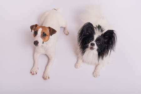 Two little cute dogs Jack Russell Terrier and Papillon breed on a white background Imagens