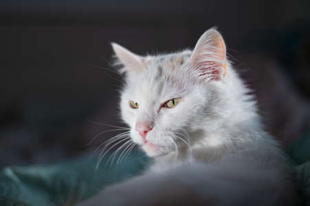 Portrait of a white fluffy cat on the bed 写真素材