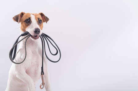 The dog holds a leash in his mouth on a white background. Jack russell terrier calls the owner for a walk. Banque d'images