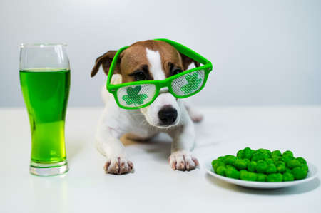Dog with a mug of green beer and glazed nuts in funny glasses on a white background. Jack russell terrier celebrates st patricks day