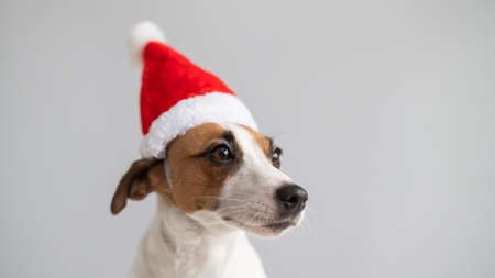 Portrait of a dog jack russell terrier in a santa claus hat on a white background. Christmas greeting card Foto de archivo
