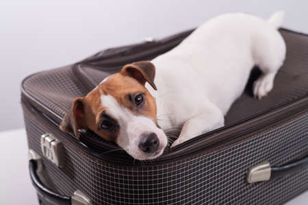 Jack russell terrier lies on a suitcase on a white background waiting for a vacation. The dog is going on a journey with the owners Foto de archivo