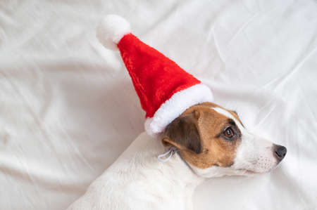 Jack russell terrier dog in santa claus hat lies on a white sheet. Christmas greeting card