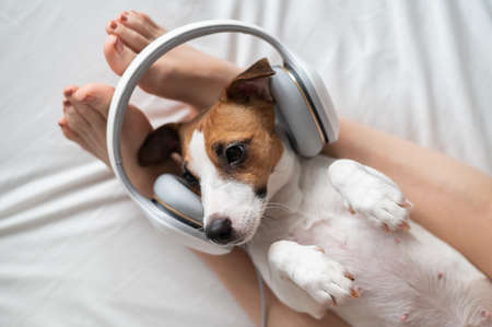 Cute dog jack russell terrier lies on its back on the legs of its owner and listens to music on headphones.